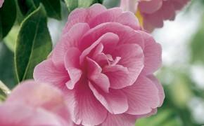 camellia_b